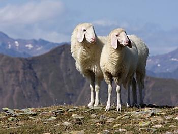 Schafe in Südtirol
